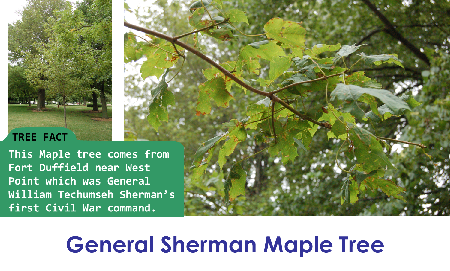 General Sherman Maple Tree_thumb.png