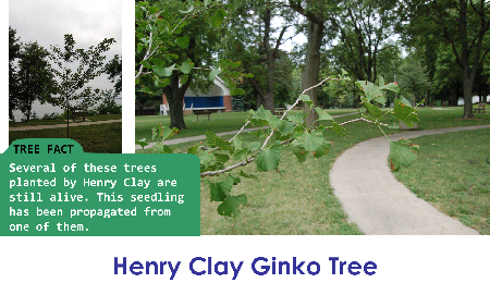 Henry Clay Ginko_thumb.png