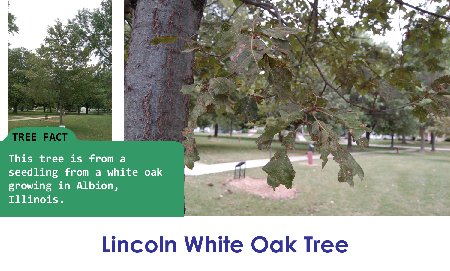Lincoln White Oak_thumb.png