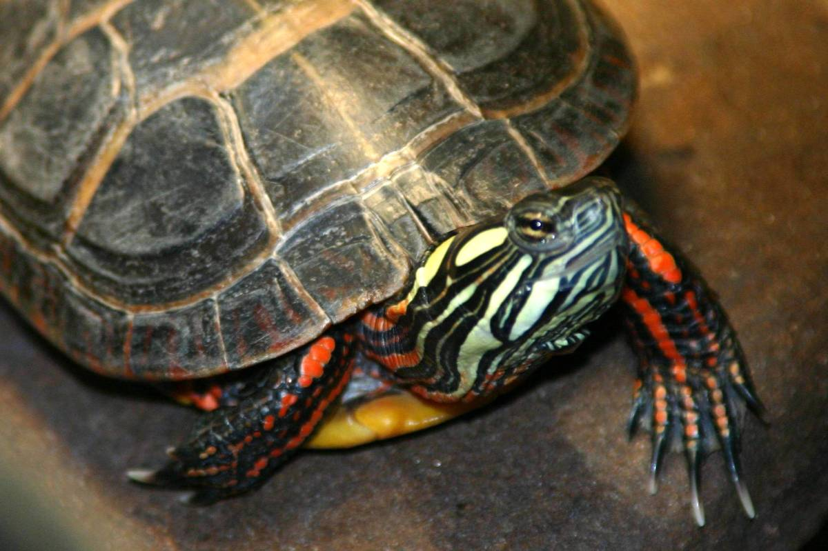 eastern-painted-turtle.jpg