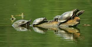 Eastern painted turtles.jpg