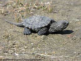 Baby common snapping turtle.jpg